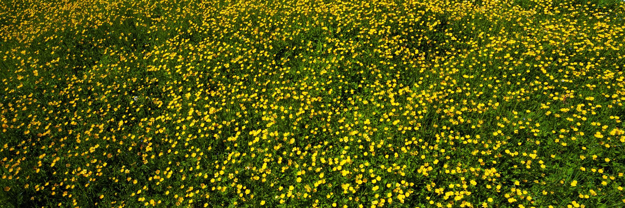 Brachland, Landschaft, Natur, analoge Fotografie, Großformat, Panoramafotografie, Markus Bollen, 6x17, grün, Leben, Wachstum, Frieden, Ruhe, Butterblumen, Wiese, Rasen