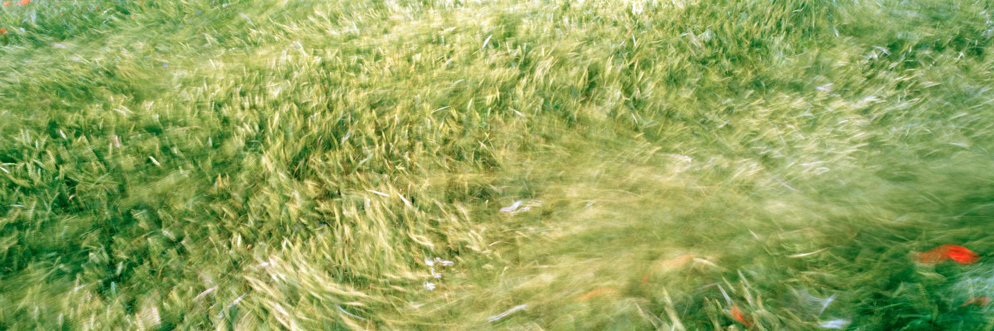 Brachland, Landschaft, Natur, analoge Fotografie, Großformat, Panoramafotografie, Markus Bollen, 6x17, grün, Leben, Wachstum, Frieden, Ruhe, Weizen, Weizenwind, Mohn, bewegt, Langzeitbelichtung