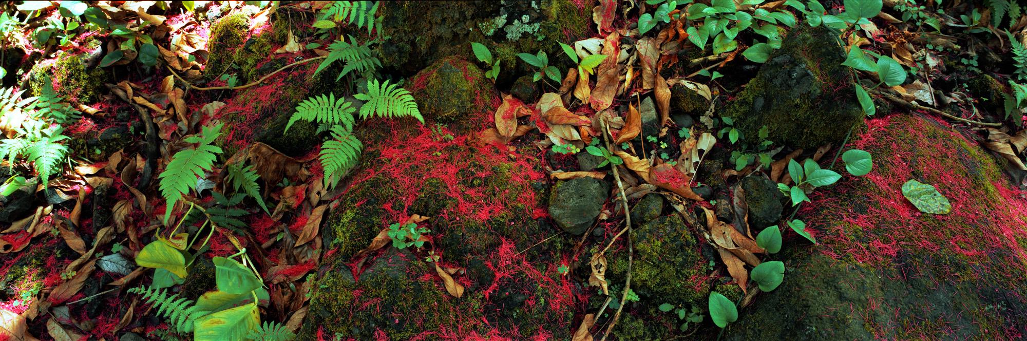 Brachland, Landschaft, Natur, analoge Fotografie, Großformat, Panoramafotografie, Markus Bollen, 6x17, grün, Leben, Wachstum, Frieden, Ruhe, Maui, Waldboden, Hawaii