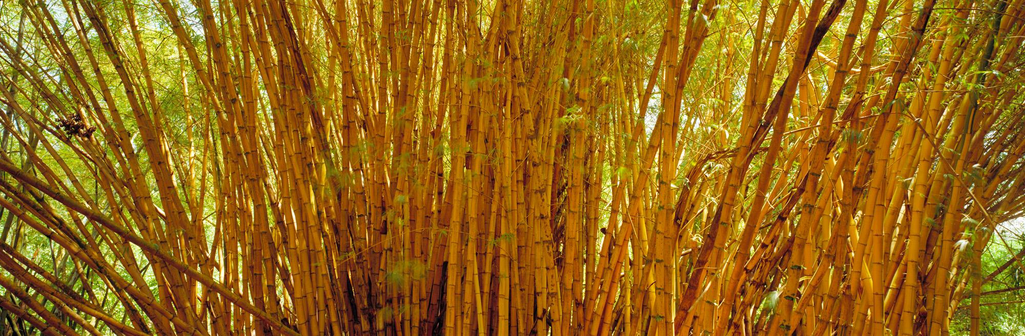 Bambus, Pflanze, Natur, Struktur, Gewächs, Wachstum, Leben, Grün, Holz, Blätter, Blatt, Makro, Wald