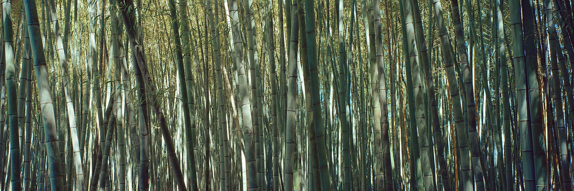 Bambus, Pflanze, Natur, Struktur, Gewächs, Wachstum, Leben, Grün, Holz, Blätter, Blatt, Makro, Wald, Fotografie, Photographie, Photography, Fine Art, Kunst, Grossformat, Grossformatfotografie, Grossformatphotographie, large format photography, 6x17