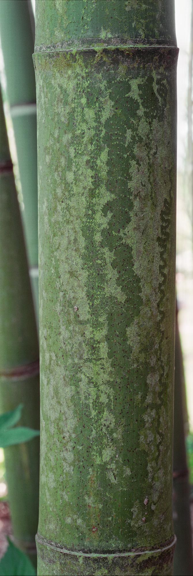Bambus, Pflanze, Natur, Struktur, Gewächs, Wachstum, Leben, Grün, Holz, Blätter, Blatt, Makro