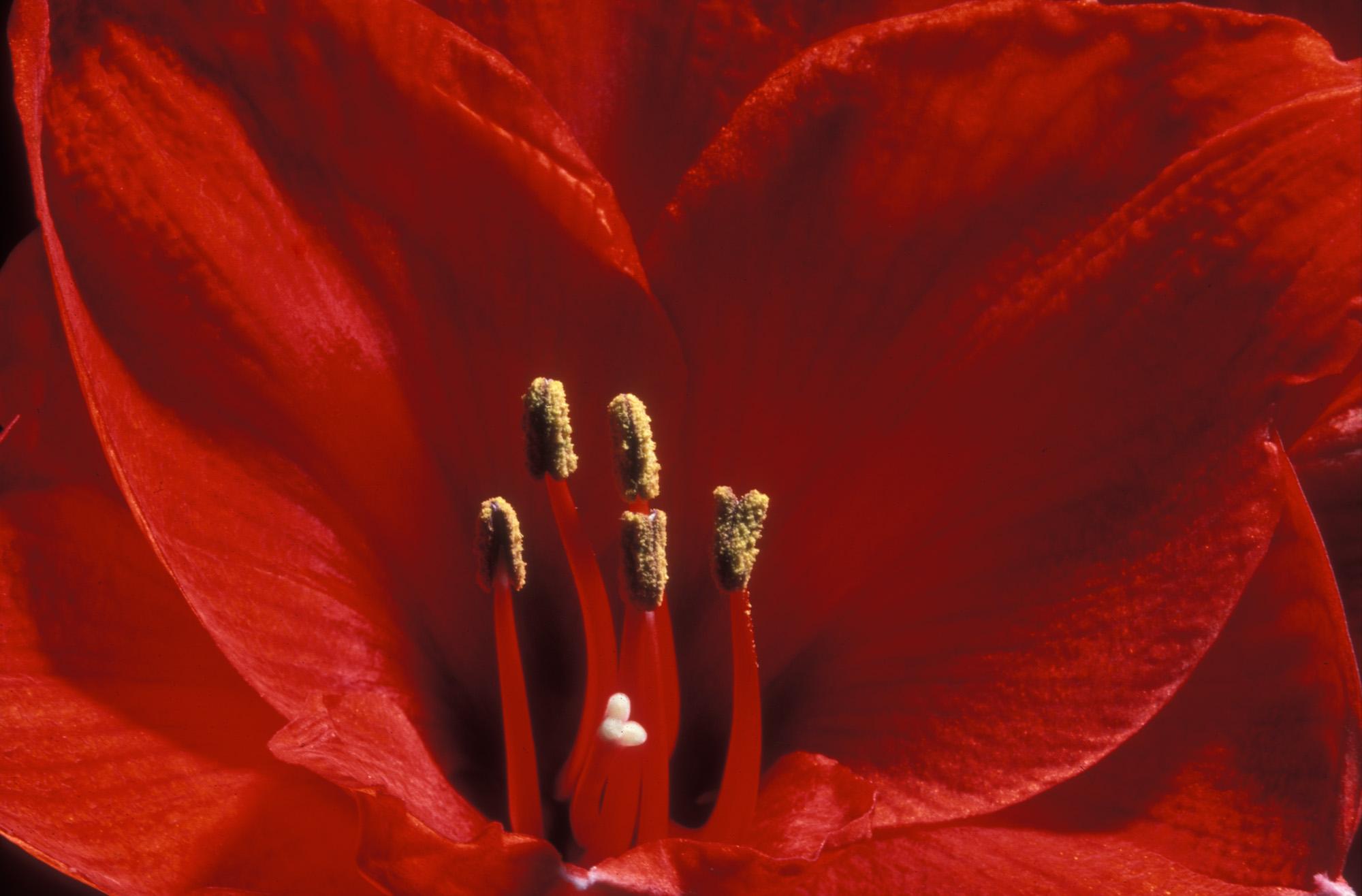 Blüte, Blüten, Pflanze, Pflanzen, Natur, Wachstum, Leben, Stempel, Blätter, Makrobereich, Makro, analog, Großformat, analoge Fotografie, Amarilis, rot