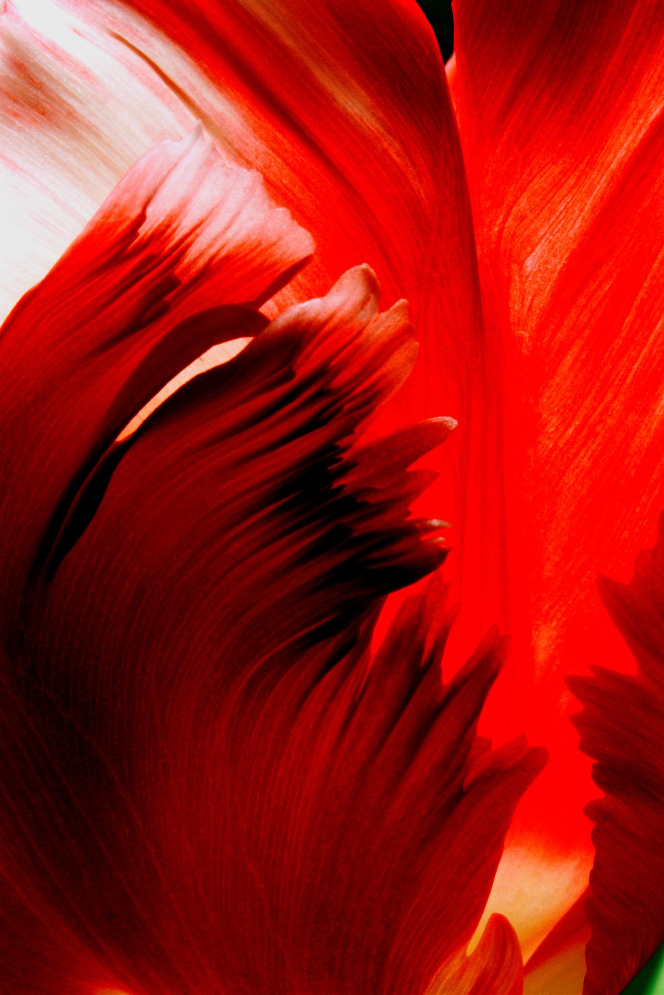 Blüte, Blüten, Pflanze, Pflanzen, Natur, Wachstum, Leben, Stempel, Blätter, Makrobereich, Makro, analog, Großformat, analoge Fotografie, Tulpe, rot