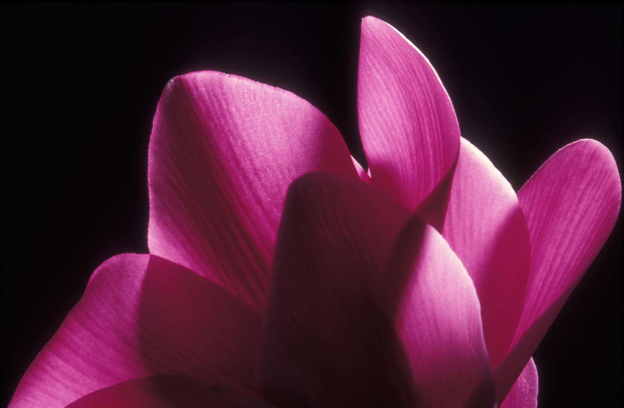 Blüte, Blüten, Pflanze, Pflanzen, Natur, Wachstum, Leben, Stempel, Blätter, Makrobereich, Makro, analog, Großformat, analoge Fotografie, Alpenveilchen, lila