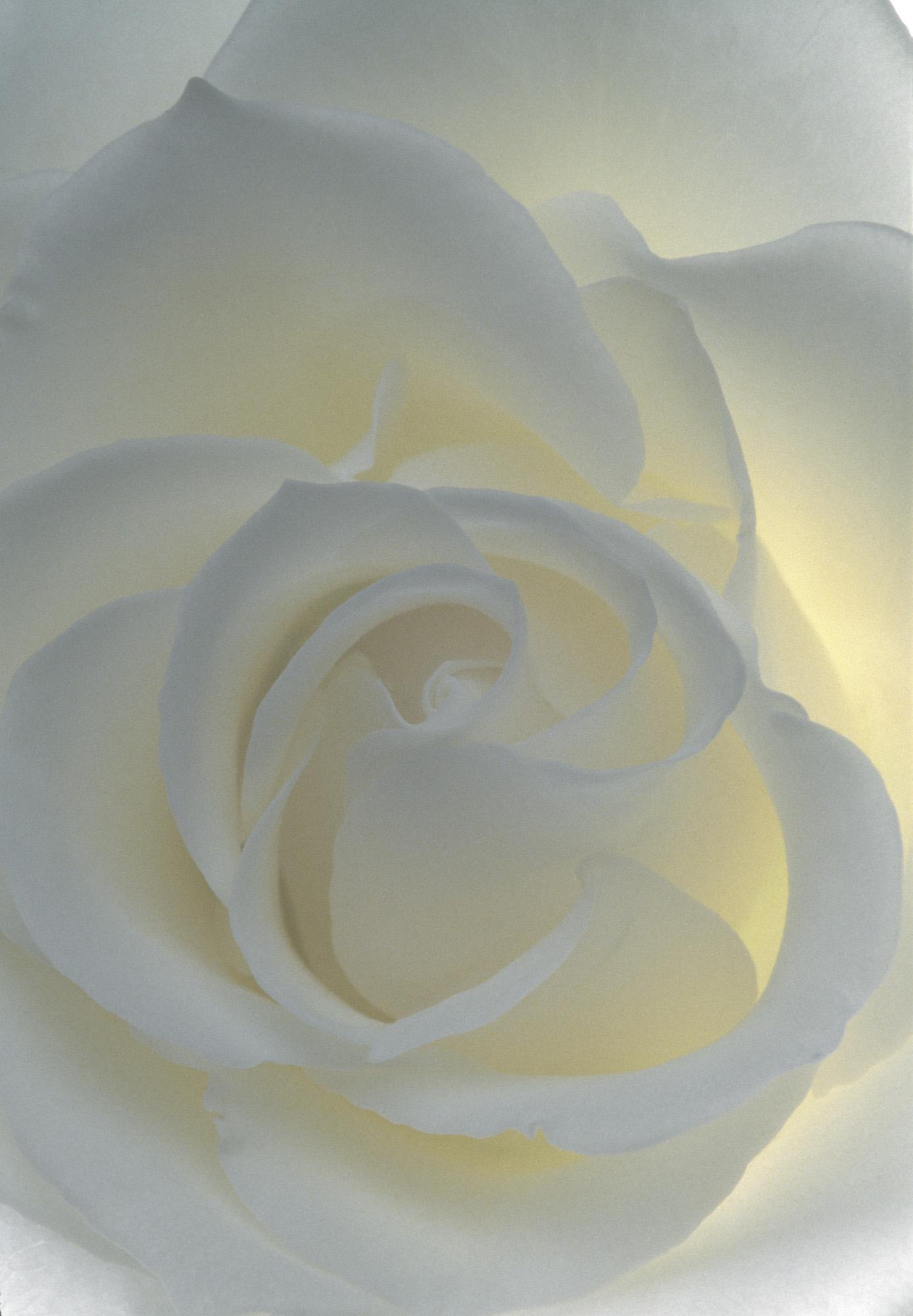 Blüte, Blüten, Pflanze, Pflanzen, Natur, Wachstum, Leben, Stempel, Blätter, Makrobereich, Makro, analog, Großformat, analoge Fotografie, weiss, Rose,