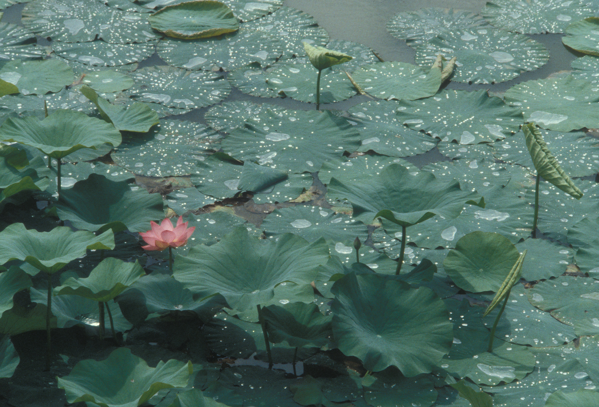 Blüte, Blüten, Pflanze, Pflanzen, Natur, Wachstum, Leben, Stempel, Blätter, Makrobereich, Makro, analog, Großformat, analoge Fotografie, Seerose