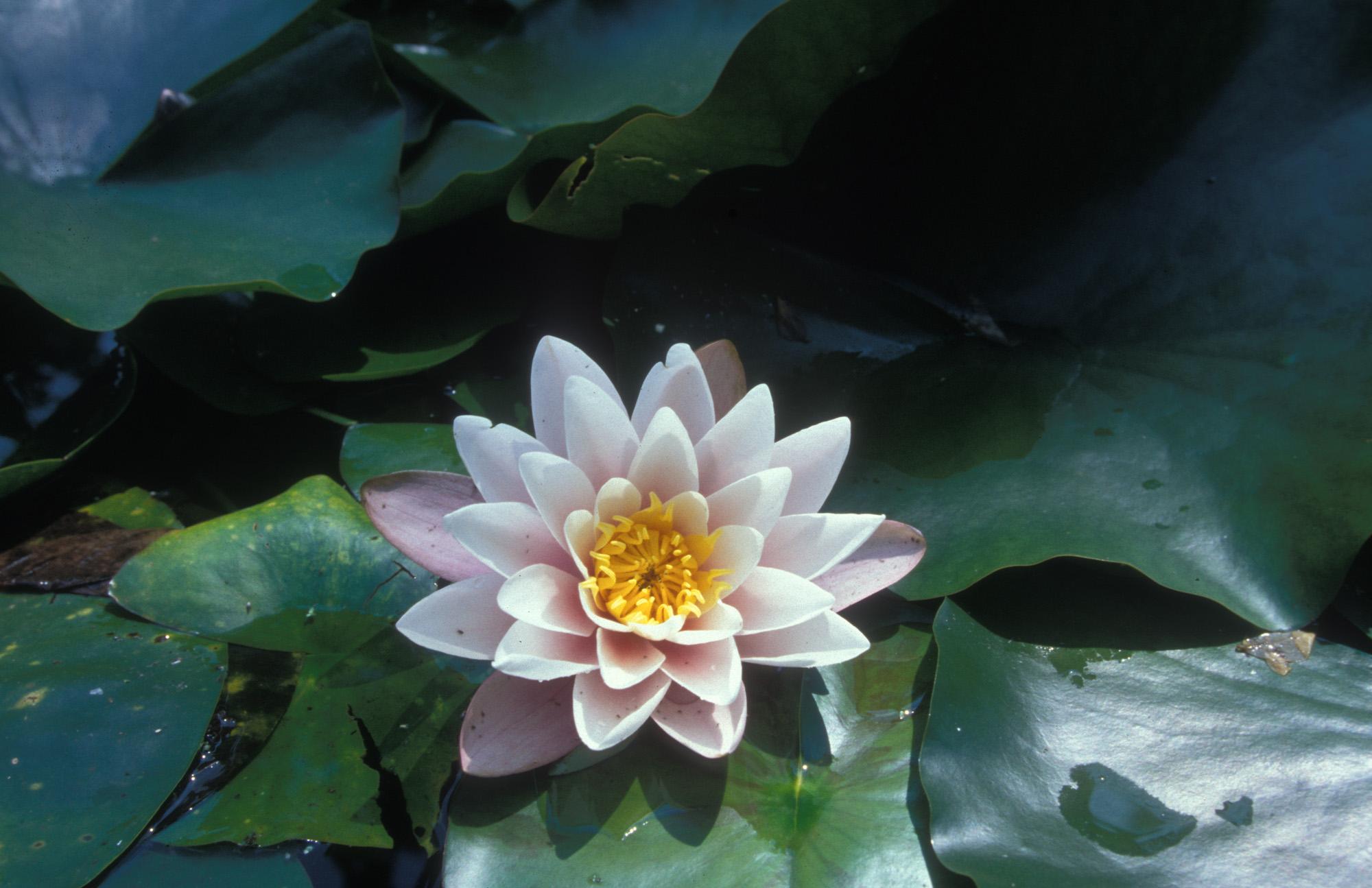 Blüte, Blüten, Pflanze, Pflanzen, Natur, Wachstum, Leben, Stempel, Blätter, Makrobereich, Makro, analog, Großformat, analoge Fotografie, Wasserrose,