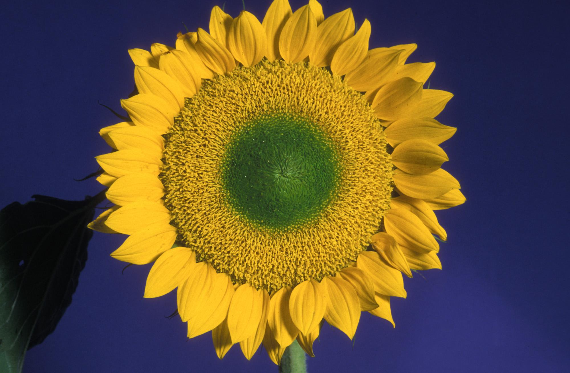 Blüte, Blüten, Pflanze, Pflanzen, Natur, Wachstum, Leben, Stempel, Blätter, Makrobereich, Makro, analog, Großformat, analoge Fotografie, Sonnenblume, Sonne, gelb, blau