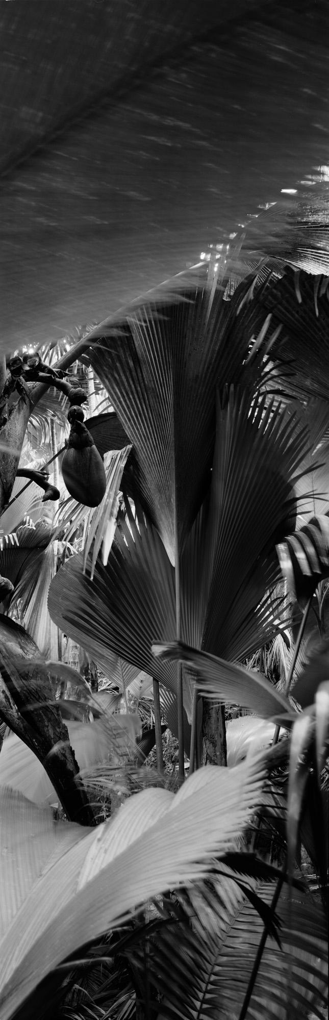large format photography, Grossformatfotografie, Grossformatphotographie, Fotografie, Photographie, photography, 6x17, black and white, schwarzweiss, bw, sw, fine art, Kunst, Palmen, palm trees, Farne, ferns,