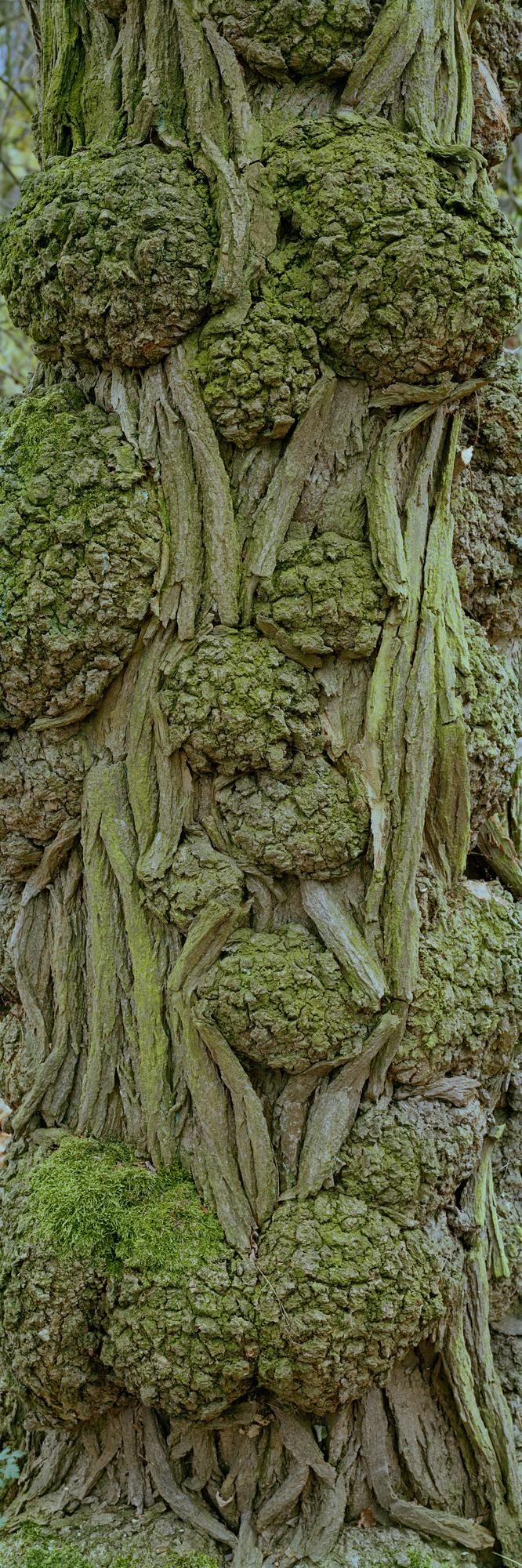 Eine Nahaufnahme einer alten, knorrigen Baumrinde, fotografiert vom Künstler und Berufsfotografen Markus Bollen aus Bensberg.