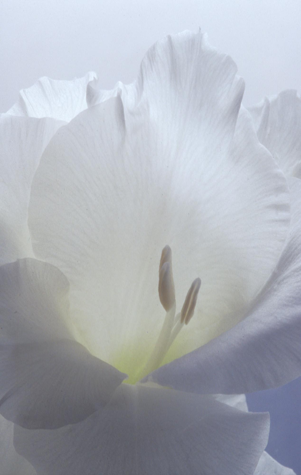 Blüte, Blüten, Pflanze, Pflanzen, Natur, Wachstum, Leben, Stempel, Blätter, Makrobereich, Makro, analog, Großformat, analoge Fotografie, weiss